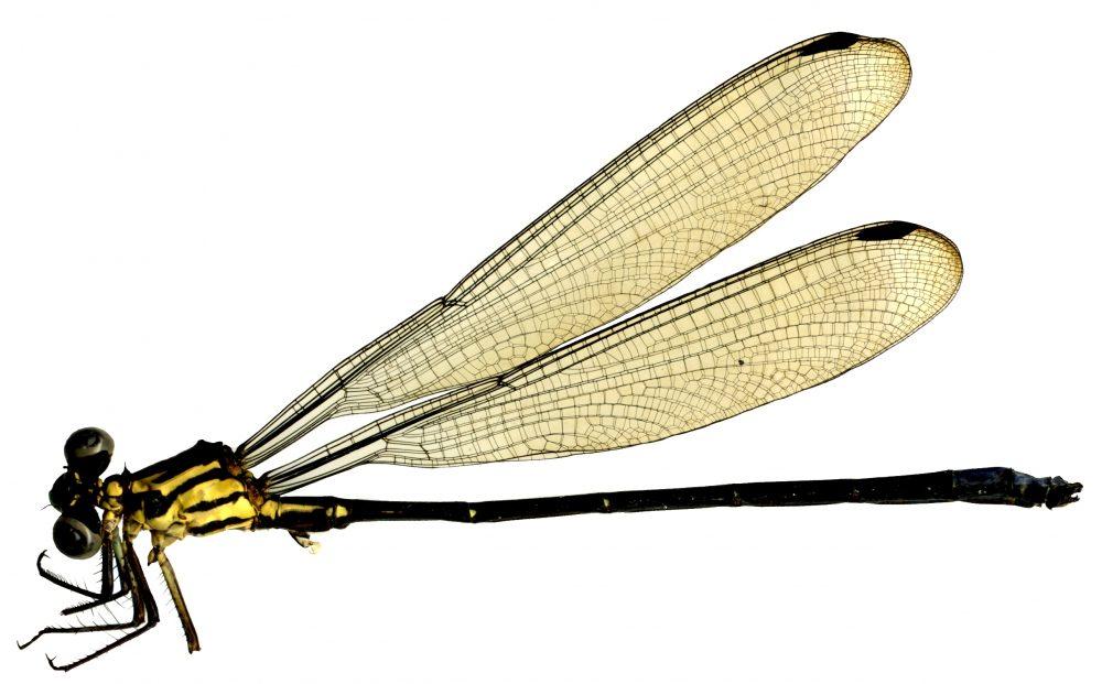 Amphipterix sp